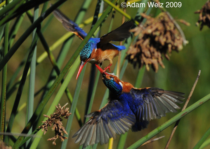 malachite-kingfisher-fighting-intaka-4-may-09
