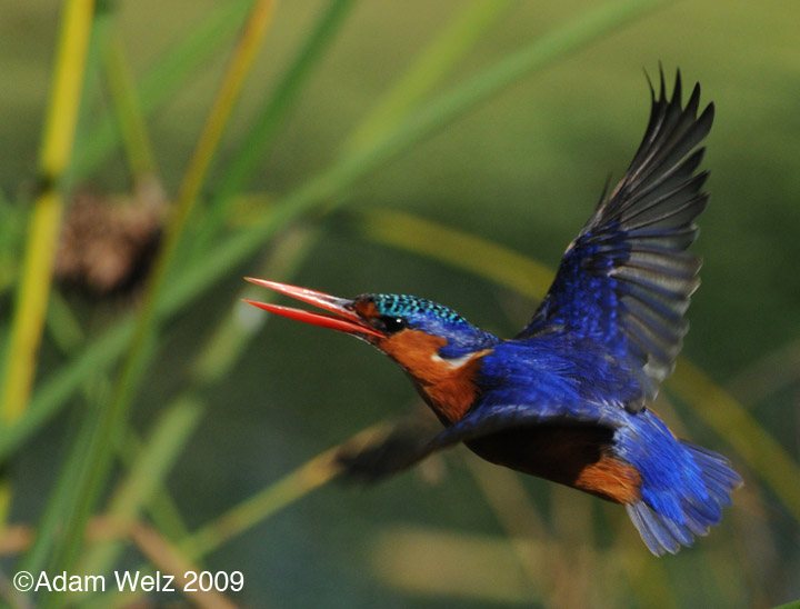 malachite-kingfisher-intaka-4-may-09