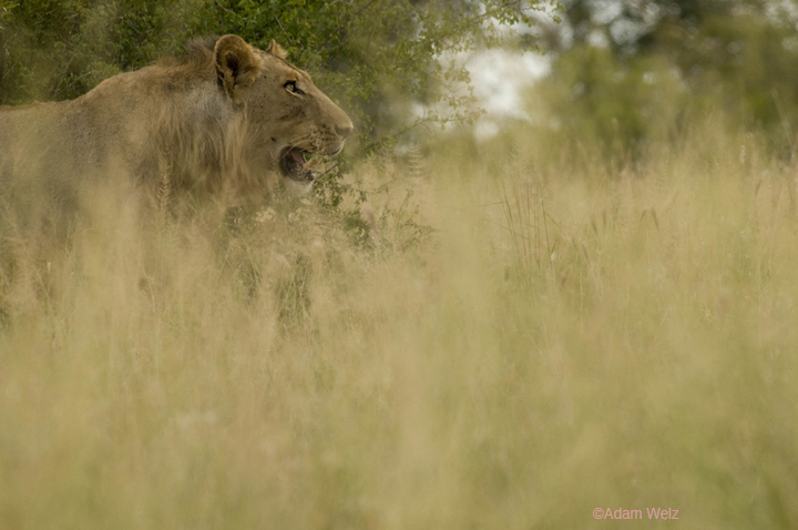 20090311_card3_KrugerNatPk_lion1000dpi_DSC_3917 copy